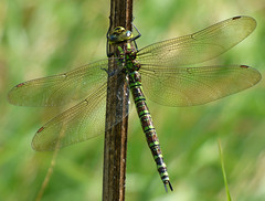 Southern Hawker (Peanut1371) Tags: southernhawker hawker insect dragonfly dragonflie wings nationalgeographicwildlife