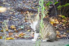 Today's Cat@2016-08-12 (masatsu) Tags: cat catspotting thebiggestgroupwithonlycats pentax mx1
