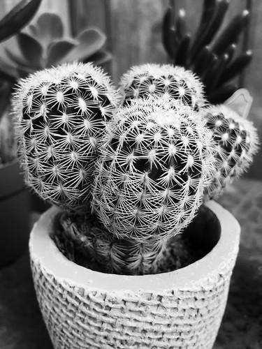 B&W Cactus Plant