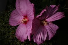 _DSC0190 (wdeck) Tags: meingarten flowers sonya700 blossoms blte malve hibiskus