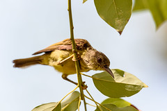 _D4S2725.jpg (Light Machinery) Tags: sunbird olivebackedsunbird