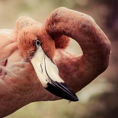 Flamingo (_Papyrus) Tags: klnerzoo facebook tiere workshopmitpavel