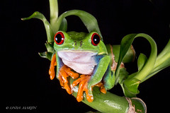 Red Eyed Tree Frog (In Explore 7/9) (Linda Martin Photography) Tags: dorset agalychniscallidryas wildlife bournemouth nature centralamerica costarica rainforest reptile canon5dmarklll uk redeyedtreefrog coth ngc npc