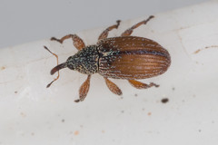 Weevil 1 (zosterops) Tags: australia tasmania hobart domain extinctionmattersbioblitzhobart september32016 canoneos6d canonmacrolensmpe65 macro insecta