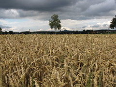 Wheat-field - Weizenfeld (elisabeth.mcghee) Tags: weizen weizenfeld wheat wheatfield