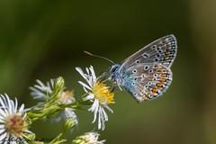 27082016-_PM03394_GF (michel paquin2011) Tags: papillon argus bleu parc rapides lasalle insecte