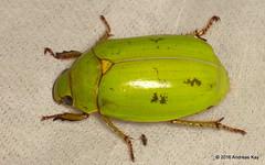 Rutelidae (Ecuador Megadiverso) Tags: andreaskay beetle coleoptera ecuador jewelscarab rutelidae