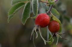 Rose hip / Nypon (G.Claesson) Tags: nypon rosehip hagebutte hglandet sverige sweden orange nyponbuske rosebush rosenbusch