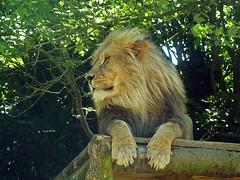 Male Lion (Cornishcarolin. Thank you everyone xxxx) Tags: cornwall newquayzoo lions cats animals wildlife nature 1001nights