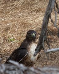 Red-tailed Hawk (Tom Clifton) Tags: pointlobos northshore birding hawk redtailedhawk rtha