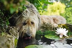 Thirsty Sunny (Rosmarie Wirz) Tags: sunny dog bergamascosheepdog pond waterlily garden thirsty