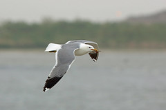 California Gull, Salton Sea, Imperial, California (Terathopius) Tags: california usa sonnybono imperialcounty saltonsea californiagull laruscalifornicuscalifornicus laruscalifornicus