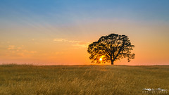 Summer Shines - Sacramento County, California (Tactile Photo | Greg Mitchell Photography) Tags: soft peaceful landscapehaze michiganbarroad quiet evening smokecolor pastel california oaktree lonetree tree sacramentocounty august sacramento sunset dirtroad oak fieldsummer