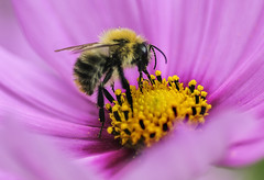 Bee at Work (johnroberts676) Tags: bee insect flower cosmos flora nature bugs d800 nikon closeup macro outdoor httpswwwflickrcomphotostagsdepth20of20field