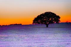 Hot August Evening (Sonia Argenio Photography) Tags: august bysoniaa evening field florida hot hotaugustevening lilac oak oaktree ocala ocalafl purple red soniaargenio sun sunsetting tree flickr flickrsoniaargenio flickrsoniagallery flickrsoniasgallery photographer