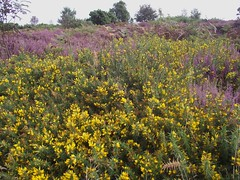 Ulex gallii (Western Gorse) with Heather 2, Walberswick Common, Suffolk, 5.9.16. (respect_all_plants) Tags: westerngorse ulexgallii walberswick walberswickcommon suffolk wildflowers