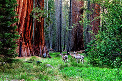 Deer amongst Giant Sequoias (klauslang99) Tags: klauslang nature naturalworld northamerica sequoias trees deer yosemite national park animals mariposa grove california