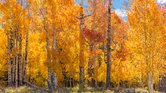 Aspens Along Hwy 14, on the way to Cedar Breaks (Jim Frazee) Tags: aspens highway14 utah cedarbreaksnationalmonument