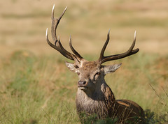 Red-Deer-3450 (Kulama) Tags: reddeer deer stag rutting nature wildlife woods land autumn autumncolours canon7d sigma150600c563