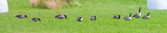 IMG_1104-1 (Andre56154) Tags: schweden sweden sverige vnern see lake wasser water ufer shore gans vogel bird tier animal goose