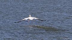 1.01989 Plican d'Amrique / Pelecanus erythrorhynchos / American White Pelican (Laval Roy) Tags: bassaintlaurent cacouna qubec oiseaux birds aves lavalroy plicandamrique pelecanuserythrorhynchos americanwhitepelican plicaniformes plicanids envol