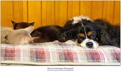 """I Wish I Could Have the Whole Pillow..."" (Sherwood Harrington) Tags: pets cats dogs fonzie guinness jax cavalierkingcharlesspaniel tricolor tricolour fawnabyssinian sableburmese"