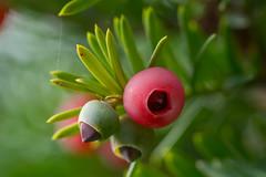 berries (severalsnakes) Tags: ks2 m1004macro missouri pentax saraspaedy sedalia berries berry bush closeup evergreen fruit macro manual red shrubbery