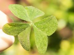 Smbolo de la Buena Suerte (Letua) Tags: 7dwf buenasuerte clover corazn crazytuesdaytheme goodluck green heart simbolo symbol trebol tres verde