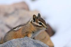 Chipmunk (Zach Hawn) Tags: mountain wildlife wilderness wild outdoors pnw pacificnorthwest washington nationalpark mrnp mora hiking mountrainier mtrainier rainier hike alpine nature