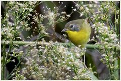 common yellowthroat (Christian Hunold) Tags: commonyellowthroat woodwarbler warbler songbird bird weidengelbkehlchen johnheinznwr philadelphia christianhunold