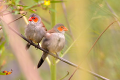 ,  ( Boti) Tags: taiwan wildbirds wildlife relax insideabush
