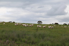 sheep in mixed grazing cropping landsscape 8391 (gervo1865_2 - LJ Gervasoni) Tags: country landscape pyrenees hwy between carisbrook newstead canola farming paddocks victoria australia 2016