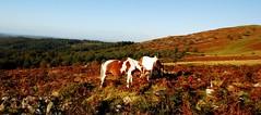 PONNIES GRAZE THE MOORLAND (russell D7000 (D80)) Tags: blue trees portrait sky beauty leather animals hill pony peek ferns tor sunlit dartmoor lanscape ponnies burrator sheepstor