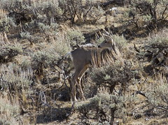 On Guard (carfull...Cowboy State-r) Tags: deer sagebrush ule