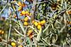 Gelbe Früchte 30.09.2012