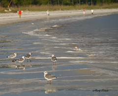 Carrabelle Beach (snoopydoobiedog~) Tags: sea beach birds coast surf florida wildlife gulls forgotten carrabelle floridacoast panasonicg3 dailynaturetnc12