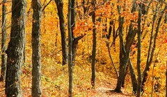 Path Through The Woods (Mark Deisinger) Tags: autumn trees orange minnesota forest woods october northshore obergmountain