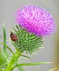 Stinkbug On Thistle (aeschylus18917) Tags: flower macro nature japan bug insect tokyo nikon purple thistle 日本 東京 花 stinkbug cirsium asteraceae setagaya pxt 公園 105mm truebug 105mmf28 世田谷区 setagayaku bullthistle cirsiumvulgare spearthistle アザミ todorokivalley 105mmf28gvrmicro d700 nikkor105mmf28gvrmicro cynareae ノアザミ cirsiumjaponicum ダニエル nikond700 brownmarmoratedstinkbug carduoideae danielruyle aeschylus18917 danruyle druyle japanesethistle ルール ダニエルルール のアザミ