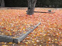 Autumn's carpet (Nick Kenrick.) Tags: autumn tree fall leaves carpet golden october vancouverisland victoriabc