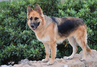 German Shepherd - Cala