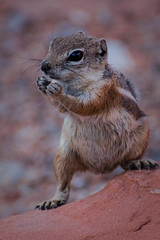 Chipmunk (MatthiasMM) Tags: