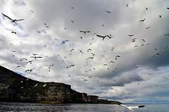 Clouds of gannets in the sky (supersky77) Tags: cliff scotland shetland gannet sula scogliera ecosse scozia morusbassanus noss birdcliff shetlandislands sulabassana isoleshetland