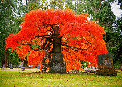 Beauty of Autumn (Explored) () Tags: autumn red orange usa tree fall nature colors beautiful beauty cemetery graveyard grass america season outdoors photo washington moss state pacific northwest image united scenic picture scene historic photograph tacoma states tombstones gravestones explored