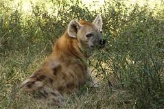 hiding hyena (ucumari photography) Tags: sc october south columbia carolina spotted hyena 2012 riverbankszoo specanimal ucumariphotography dsc5966