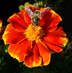 Tagetes - Marigold (fleckchen) Tags: flowers autumn summer flower garden insect colorful sommer herbst blumen bee bumble garten insekten tagetes blten bienen hummeln herbtlich natureselegantshots mimamorflowers panoramafotogrfico buntmarigold