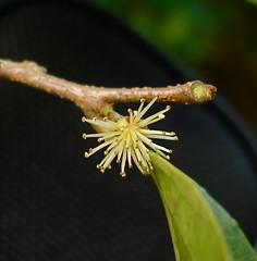 Xylosma nelsonii (Lauren Gutierrez) Tags: tree flora shrub endemic guam xylosma nelsonii putranjivaceae xylosmanelsonii