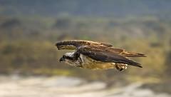 osprey in flight (cp991) Tags: bird beach nature nikon wildlife hunting australia raptor coastline soaring osprey foreshore afternoonlight birdinflight cabaritta cameronpitcherphotography cp991