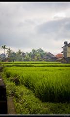 Paddy Field - Ubud (Pegoraro Julien) Tags: bali green field canon indonesia eos paddy vert 7d indonesie ubud rizire