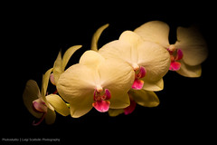 Yellow orchid (Photoskatto) Tags: flowers orchid nature yellow bokeh giallo fiori orchidea theauthorsplaza