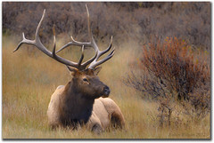 The Master (Robin-Wilson) Tags: autumn bravo colorado wildlife bull antlers rmnp elk wapiti greatphotographers specanimal 6by6 specanimalphotooftheday nikond7000 beautiesbeasts
